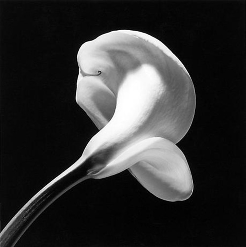 Calla Lily-1984, Robert Mapplethorpe